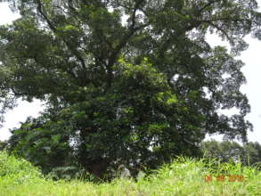 Large Terminalia bellirica tree from Western Ghats