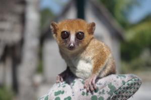 A Sainte Luce mouse lemur