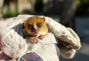 A mouse lemur sports its snazzy new collar!