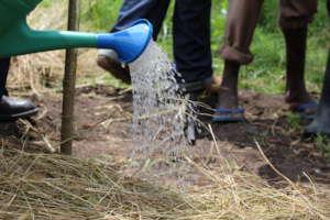 Watering the tree nursery