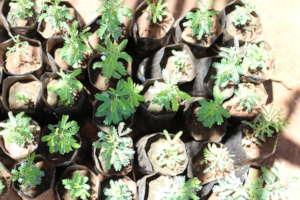 Acacia seedlings in their nursery