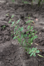 A new tree grows resiliently in dry soil