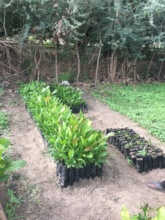 Trees ready for outplanting during rains
