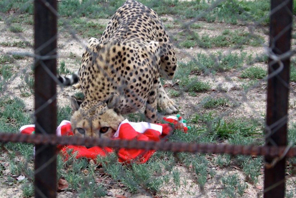 A cheetah got hold of that ugly sweater