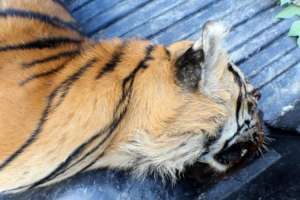 female tiger carcass found at Ismail's home