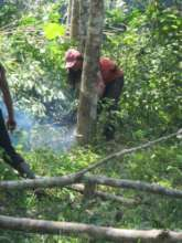 Destroying illegal rubber trees