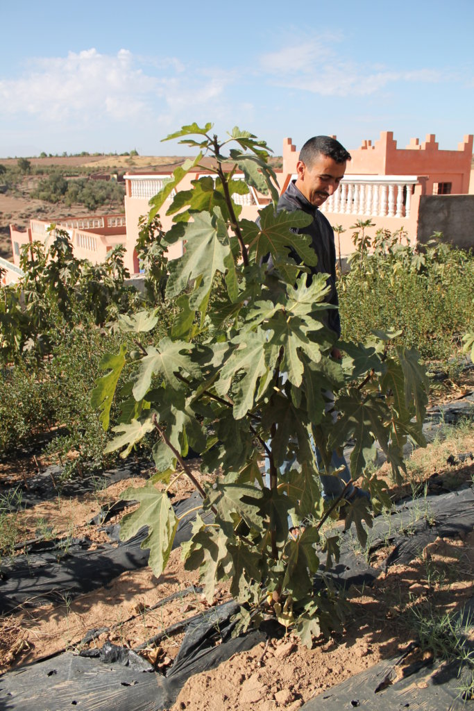Cultivating Indigenous Figs in Ouezzane, Morocco
