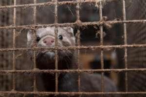 Mink in a cage. Photo:  Dyrsfrihet/Flickr