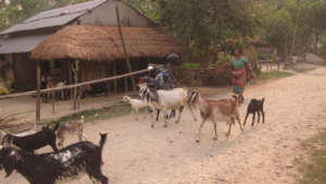 A Woman Herds Her Goats in a Village in Nepal