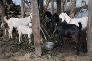 Goats Abound