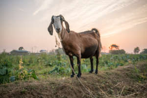 A Goat Poses in Chitwan