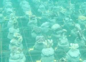 Coral Nursery Bed