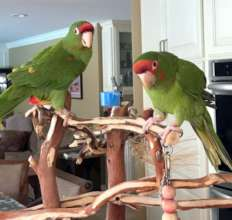 Mitred Conures, Isabel and Baby Boy.