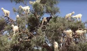 Goats can spit out argan nuts after eating them