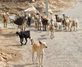 Dogs traditionally keep livestock and guard houses