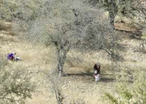 Women collecting argan fruits