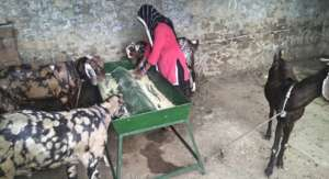 Goat rearing activity by SHGs women