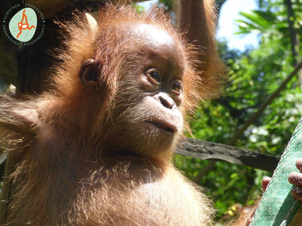 Releasing Orangutans Back into the Wild - GlobalGiving