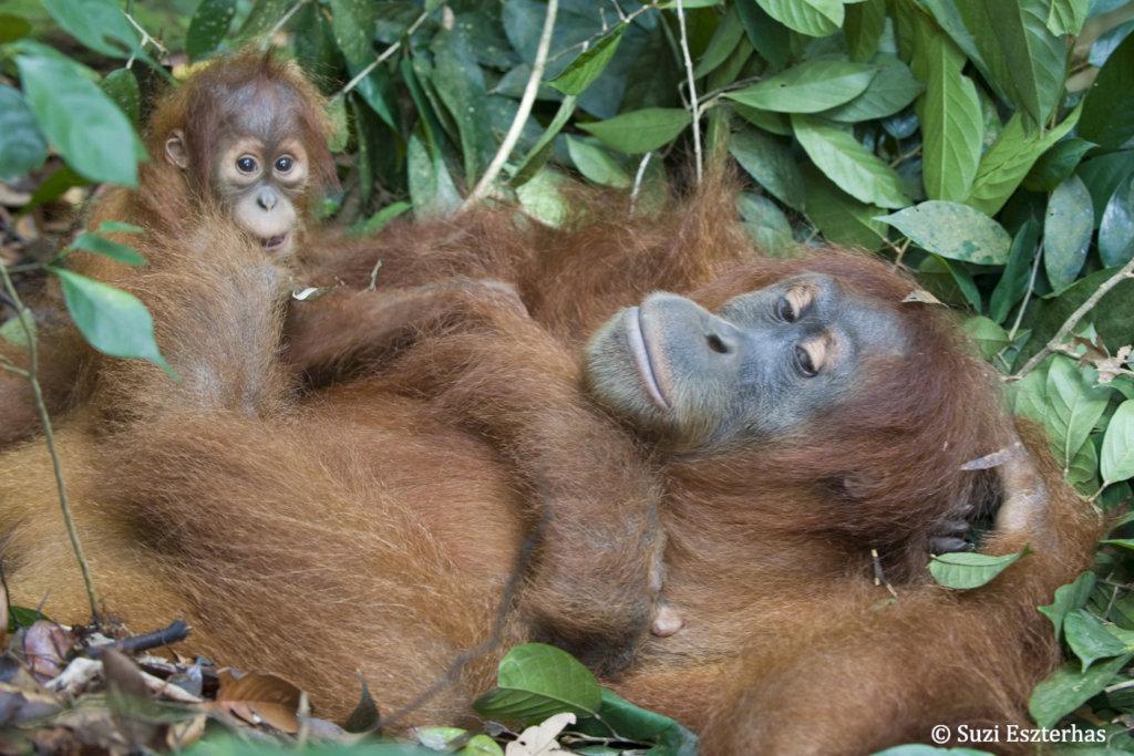 Releasing Orangutans Back into the Wild
