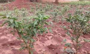 Pepper plant from women's garden