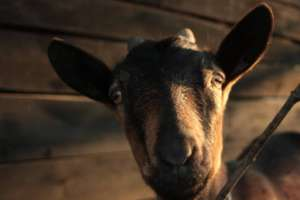 Peace Goat