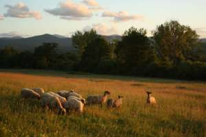 Sheep on the Peace Farm
