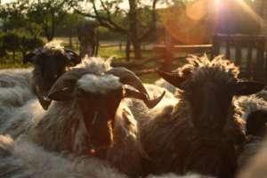Peace Sheep