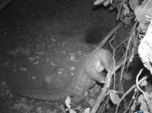 Camera trap Image of Indian Pangolin