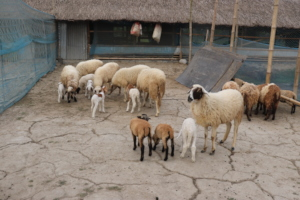 Distributed Sheep with new born lambs