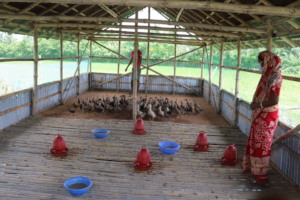 Poultry farming by the coastal people