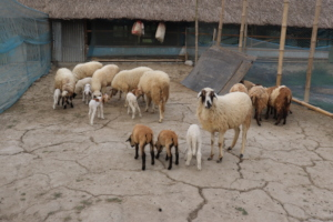 Supported sheep by BEDS