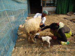 Livestock's change the life of coastal people
