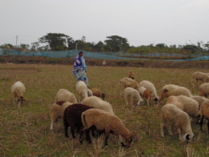 Local people are taking care of the sheep