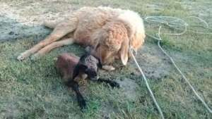 Sheep are giving birth to new lamb