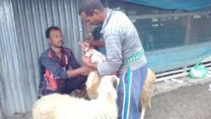 Sheep are being vaccinated