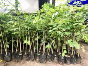 Here are some of the rosewood trees we'll plant.