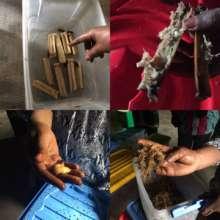 Farming palm weevil grubs