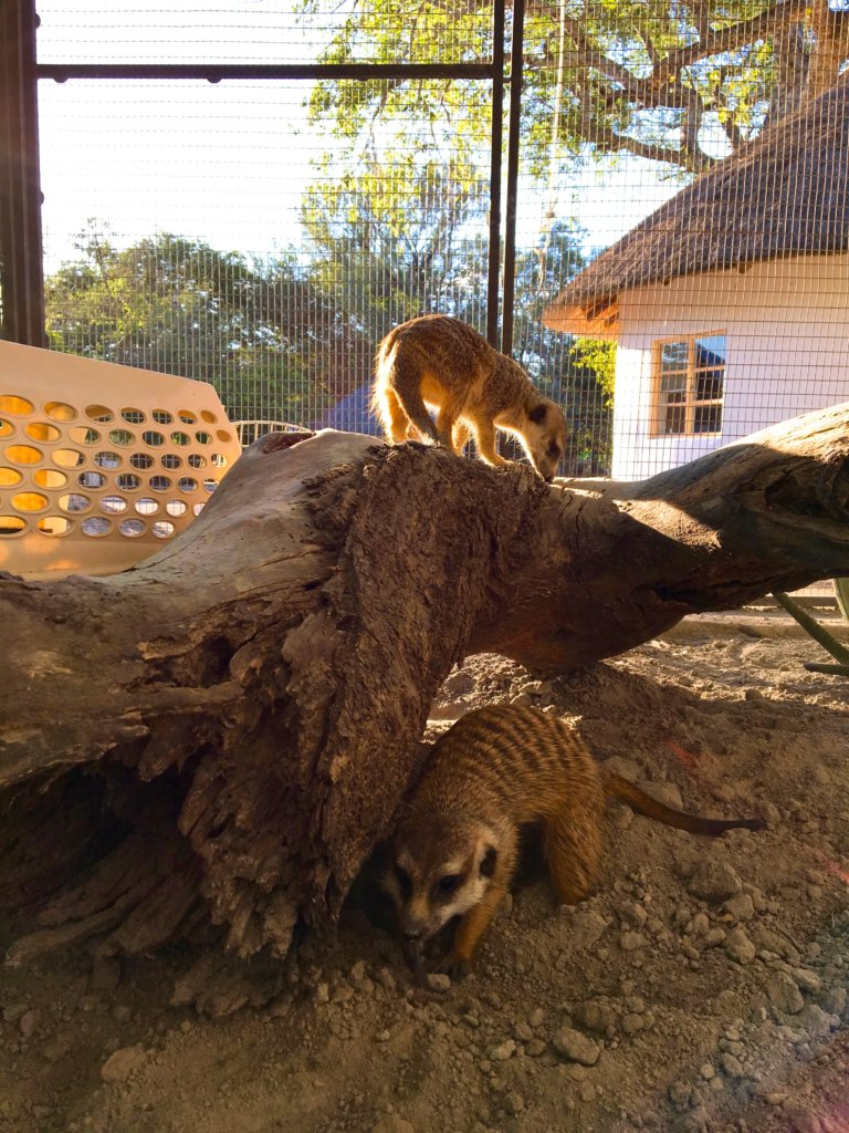 Watch Our Meerkats Grow
