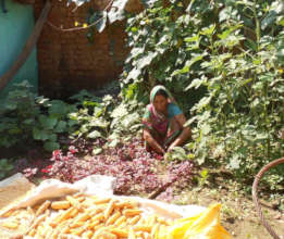 Families are harvesting nutritious food