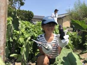 harvesting an eggplant