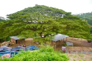 "The ""Saman"" tree that inspired it all"