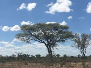 A lovely and gigantic Acacia on the African Plains