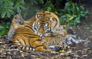 Tigress with Three Tiny Cubs