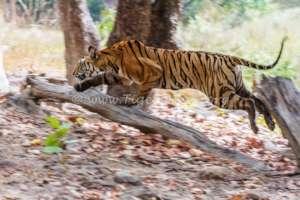 A Tiger cub in hot pursuit of potential prey