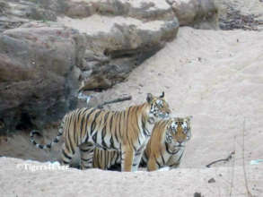 Adult Tigers ready to mate near a dry Waterhole