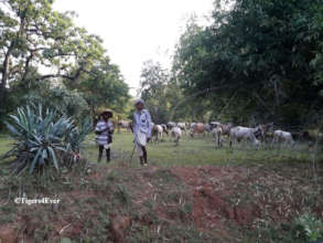 Villagers grazing cattle in Tiger Territory