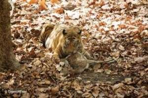 Alpha male tiger with chittal kill