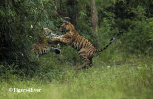 Cubs Orphaned by poachers learning to play fight
