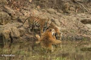 Wild Tigress with 2 cubs