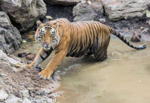 Alpha male tiger in a rock pool waterhole